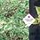 Thumbnail: Cornus alba 'Sibirica'
