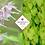 Thumbnail: Epimedium x rubrum