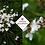 Thumbnail: Libertia grandiflora