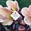 Thumbnail: Helleborus x hybridus