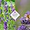 Thumbnail: Lavandula angustifolia 'Hidcote'