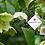Thumbnail: Helleborus orientalis