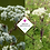 Thumbnail: Selinum wallichianum