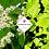 Thumbnail: Mukdenia rossii