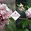 Thumbnail: Daphne odora 'Aureomarginata'