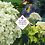 Thumbnail: Hydrangea arborescens 'Annabelle'