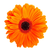 Orange Herbera.png