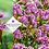 Thumbnail: Bergenia cordifolia 'Dark Damsel'