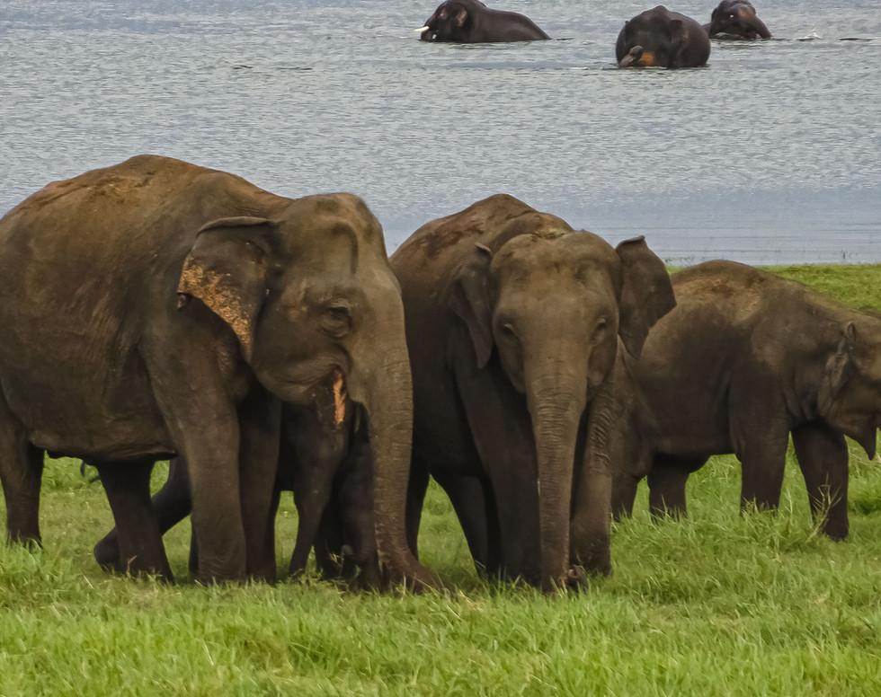 Elephants in Minneriya