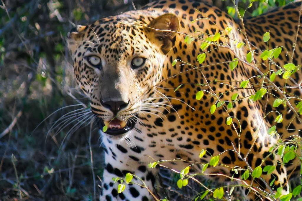 Leopards in SriLanka