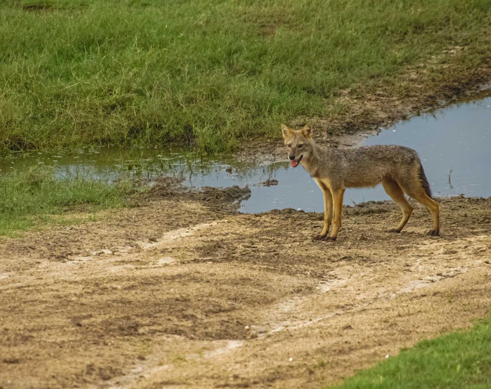 Fox in Minneriya National Park