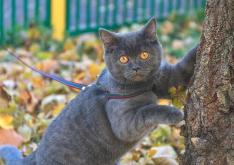 GATO USANDO COLEIRA- Coleira para gato é uma opção realmente viável?- BRASPETS