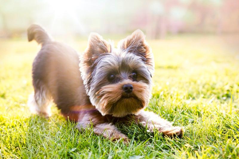 """Cachorro no verão- """"Verão: quais os cuidados que devemos ter com os pets nessa época do ano?""""-Braspets"""