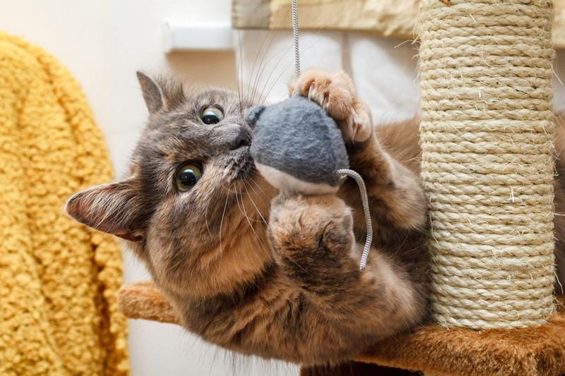 gato fofo brincando com arranhador