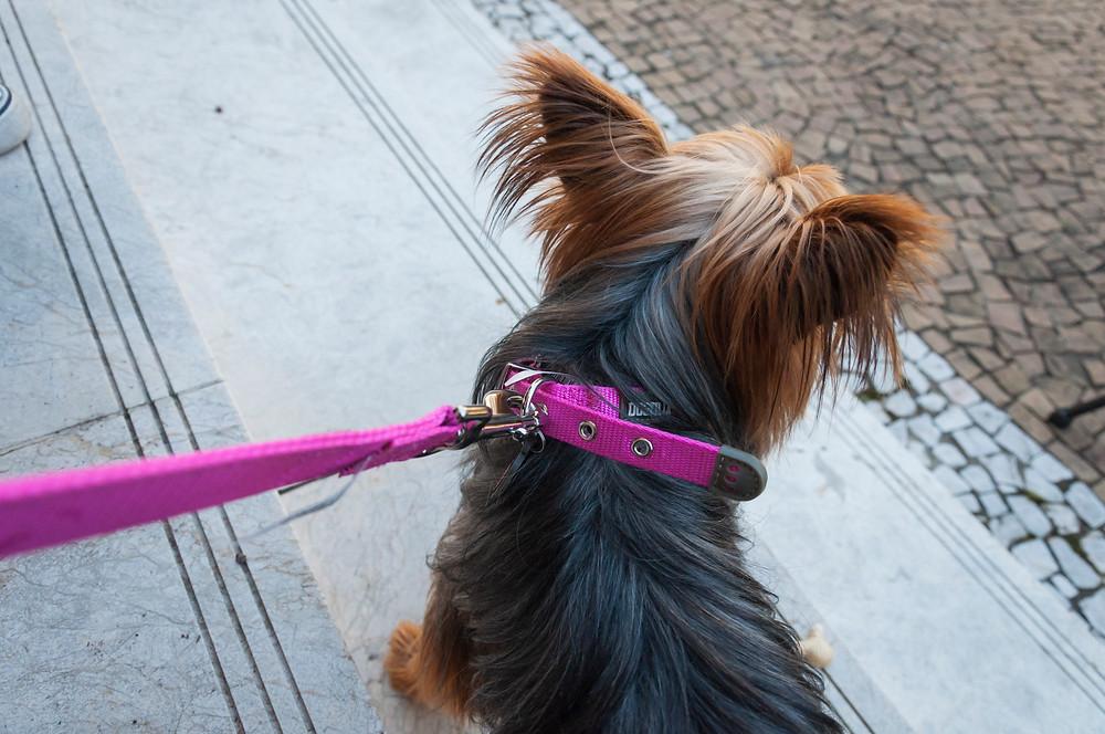 """Coleira pra cachorros- """"Dicas para não errar na hora de escolher produtos para o seu pet""""-Braspets"""