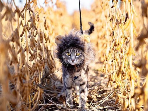Como acostumar o seu gato a usar coleira?