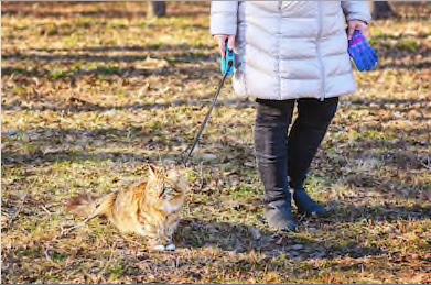"""GATO USANDO COLEIRA- """"Como acostumar o seu gato a usar coleira?""""- BRASPETS"""