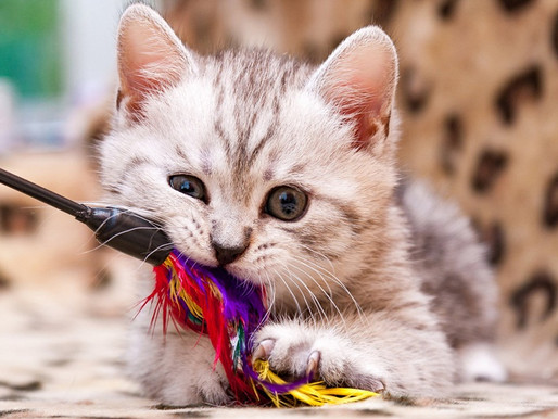 Como o brinquedo ideal pode ajudar a reduzir o stress dos gatos?