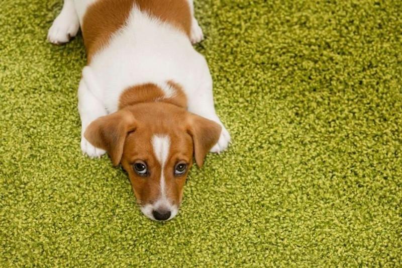 """CACHORRO TRISTE- """"Por que a higienização do cantinho do pet é importante para a sua saúde?""""- BRASPETS"""
