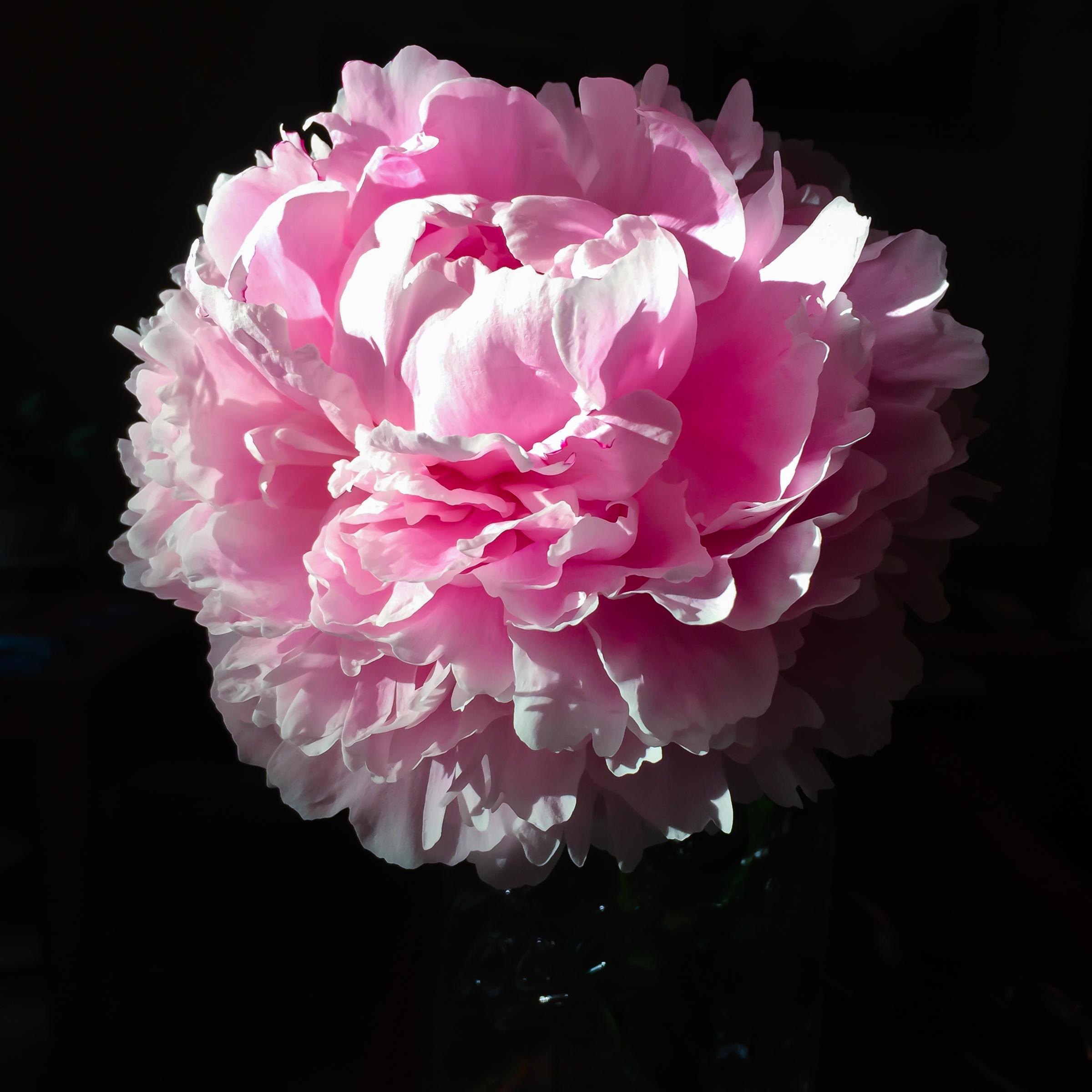 Hot Pink Peony-4
