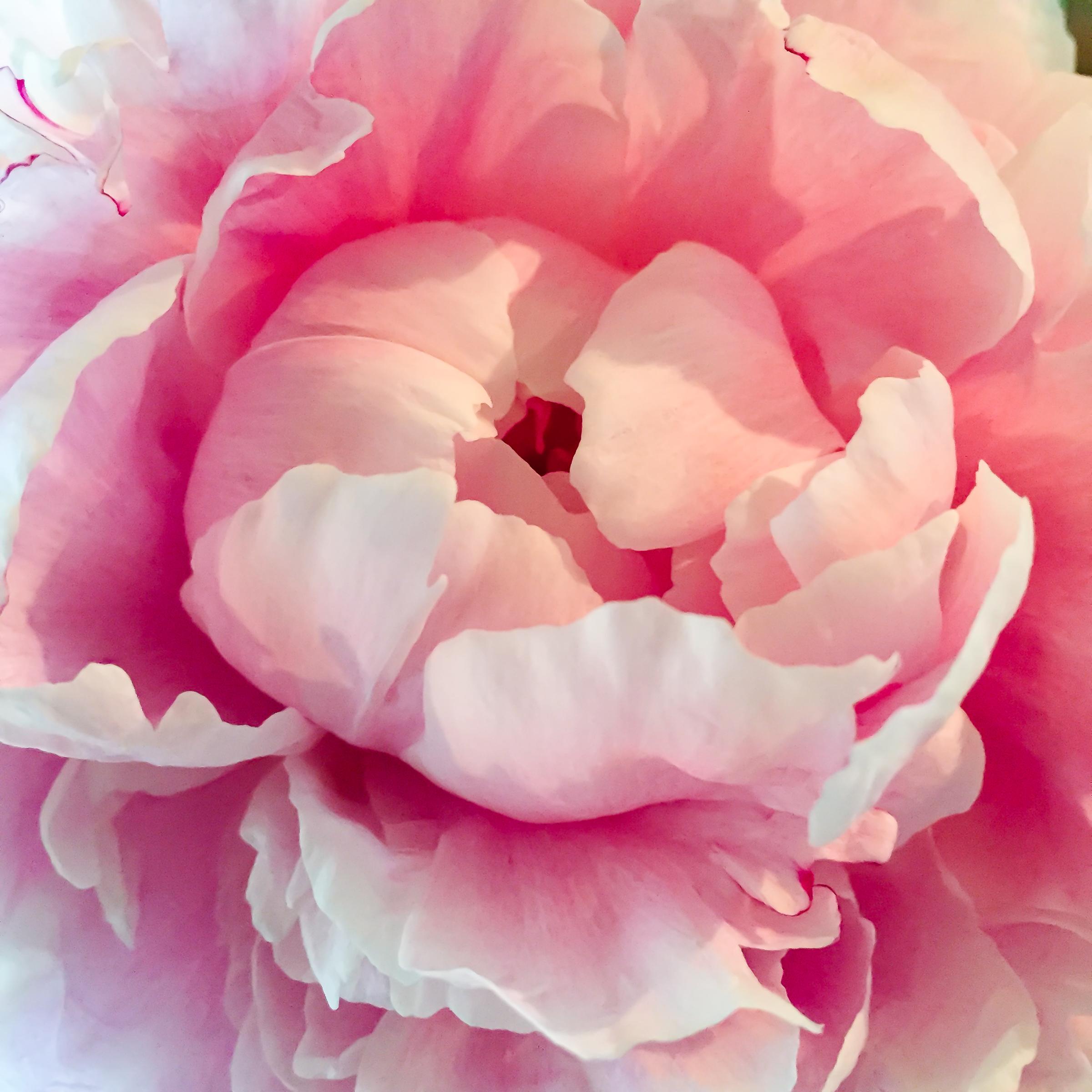 Hot Pink Peony-3