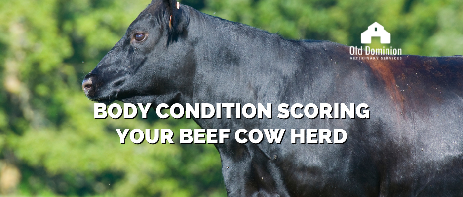 Body Condition Scoring Your Beef Cow Herd