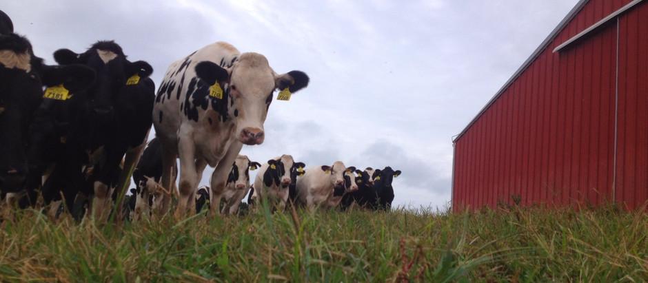 Vaccinating Cattle in Virginia