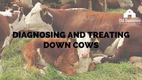 Diagnosing and Treating Down Cows