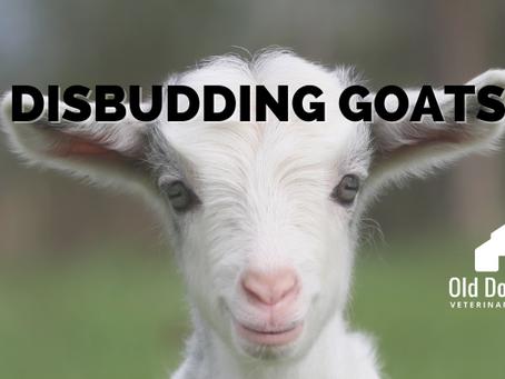 Disbudding Goats