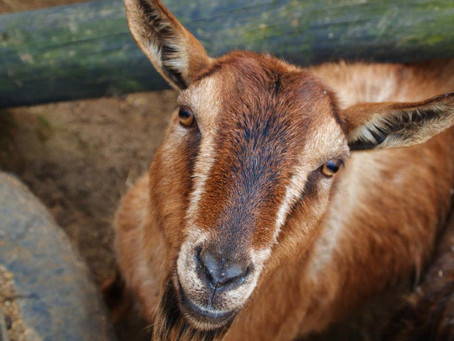 Controlling Parasites in Sheep and Goats