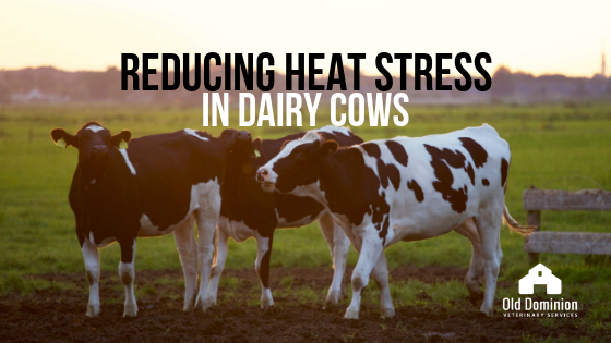 Reducing Heat Stress in Dairy Cows