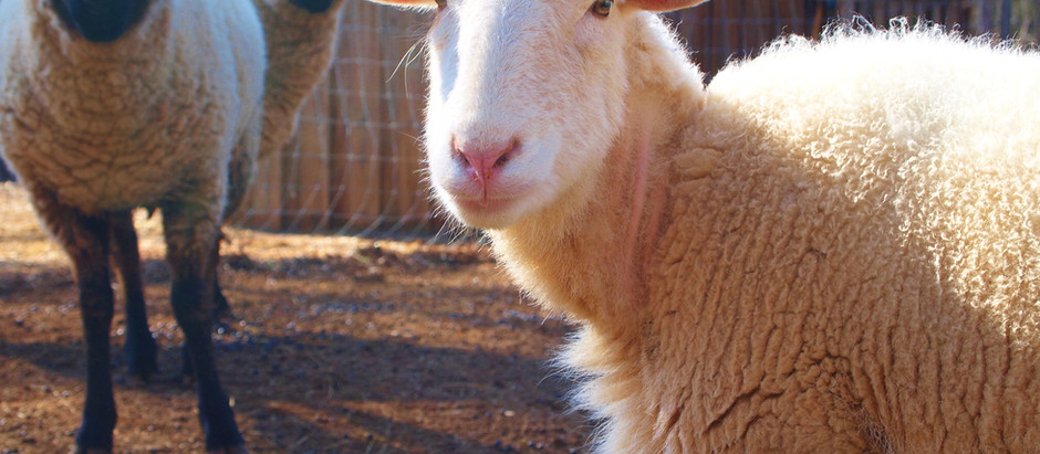 Sheep and Goats: Treating Urinary Blockages