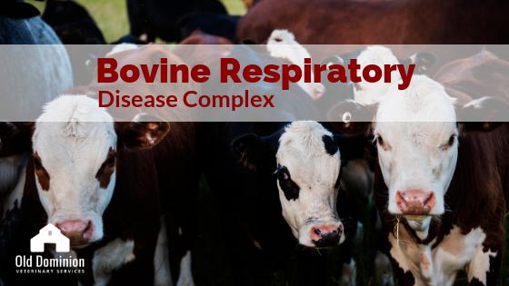 Bovine Respiratory Disease Complex
