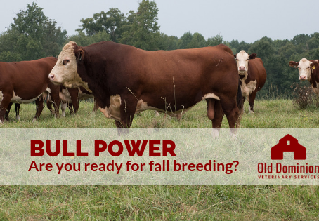 Bull Power: Are you ready for fall breeding?