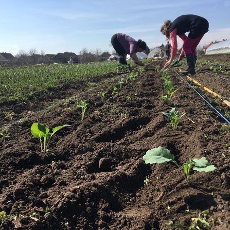 Palántázás / Planting