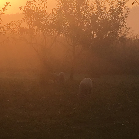 Új tagjaink, a bárányok / Our New Members, The Sheep