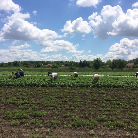 Önkéntes nap - Kumplibogarak mentesítése / Volunteer day - Clearing Potato Beetles