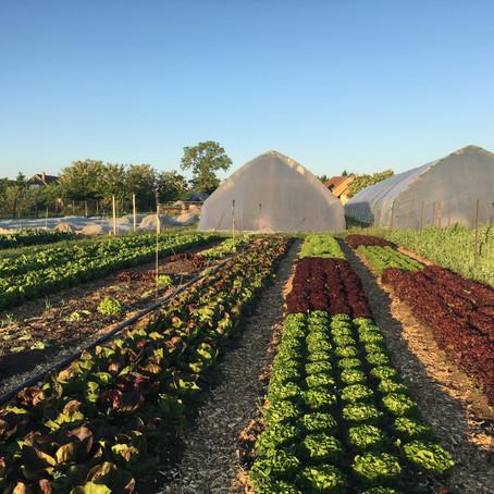 Fagyok és a saláták / Frost and the Lettuces
