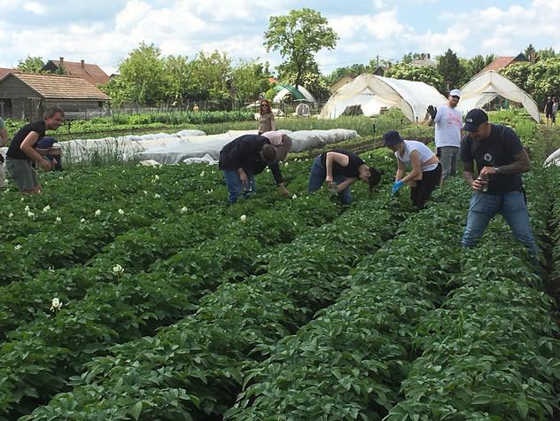 Krumplibogár-szedés