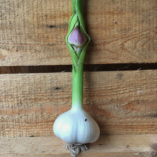 Várandós fokhagyma / Pregnant Garlic