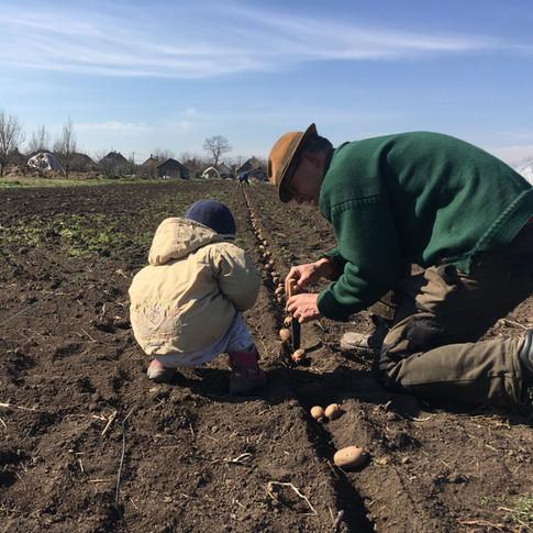 Apa-fia burgonyavetés / Planting potatoes - father and son