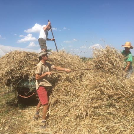 Making Hay in the Zsámboki Biokert Way