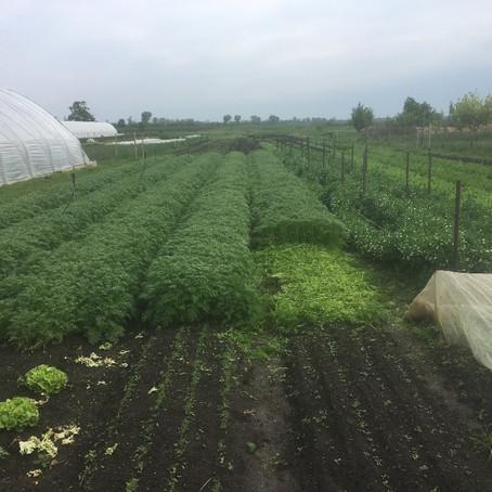 A jótékony zöldtrágya / The Beneficial Green Manure