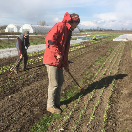 Planting Potatoes, Hoeing and Irrigation