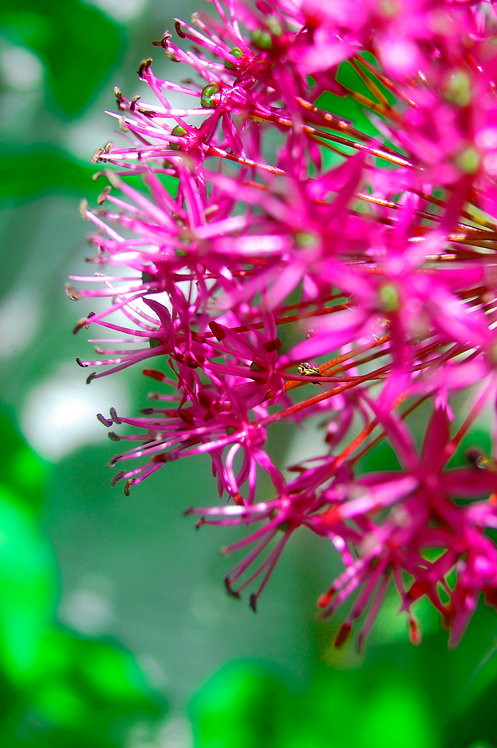 Hot pink allium