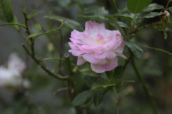 Une rose dans le jardin du Clos du Théron, chambre d'hôtes à Cournonterral, Hérault