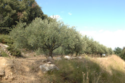 The garrigue