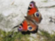 Tagpfauenauge_Kunst_Natur-min.jpg