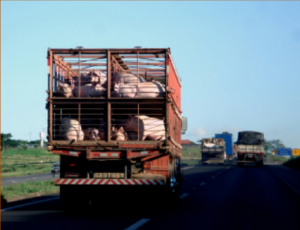 Pigs being transported to slaughter