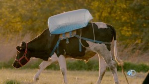 """The """"belch backpack""""  inserted inside a cows stomach to collect methane emitted in cows' gas, credit:  Mother Jones http://www.motherjones.com/environment/2015/12/discovery-racing-extinction-methane-bags-timelapse"""